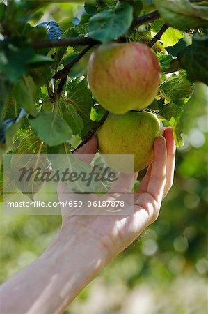 Pommes mûres sur l'arbre