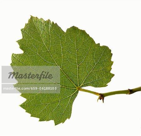 Echte Weintraube Blatt