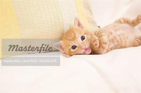 Chat couché et montrant la langue