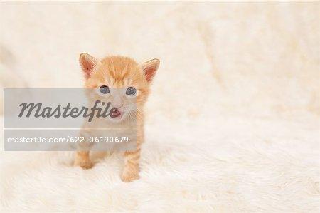 Colère d'affichage de chat domestique