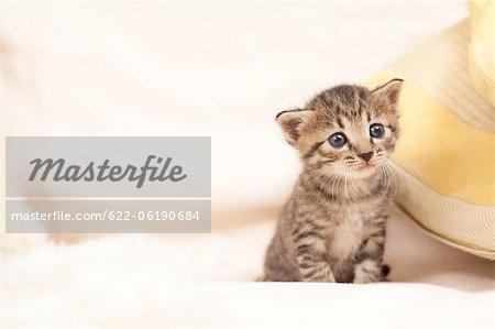 Chat domestique, à la recherche de suite