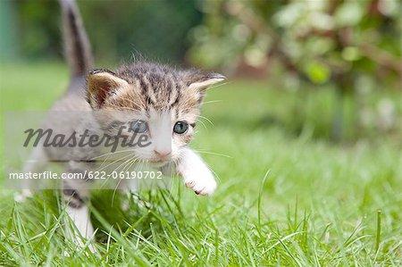 Chat chasse pour se nourrir sur l'herbe