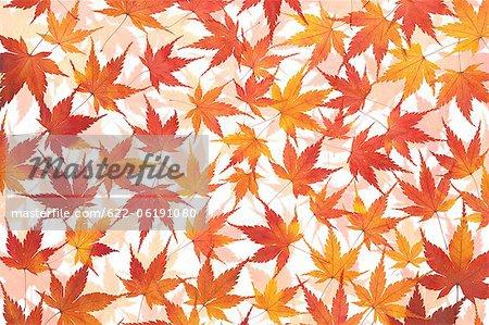 Feuilles tombées d'érable rouge et Orange, automne, fond