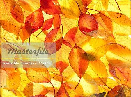 Feuilles de l'automne allumé, jaune