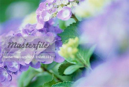 Fleurs de l'hortensia bleu