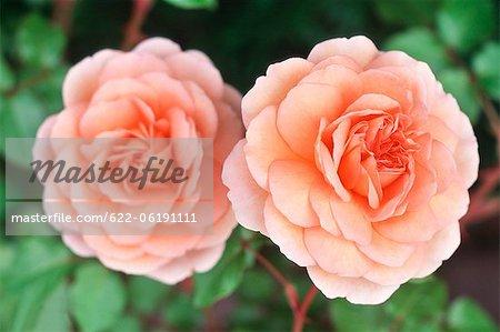 Vue rapprochée de deux rose camélia
