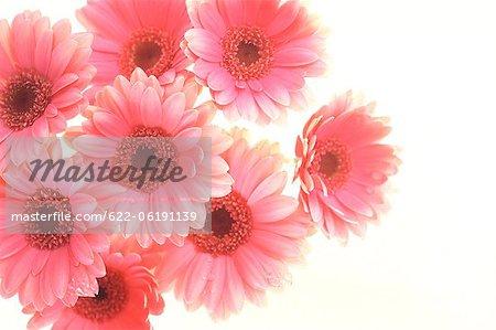 Gerberas rose sur fond blanc