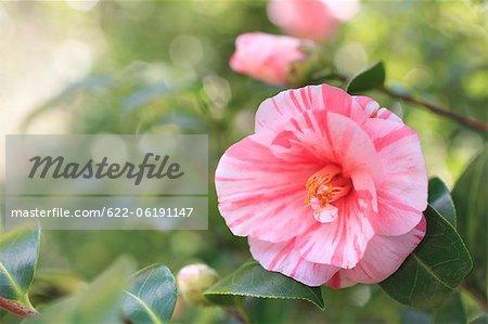 Vue rapprochée de rose camélia
