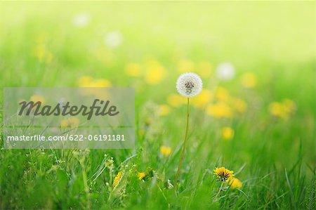 Gros plan du pissenlit dans l'herbe