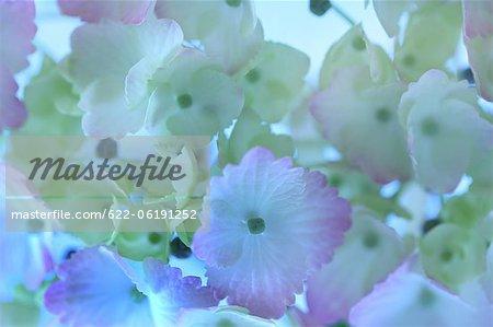 Close-Up View blanc et bleu hortensia fleurs
