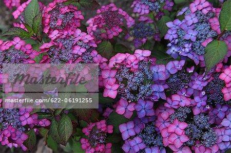 Fleurs d'hortensia bleu et rose dans le jardin
