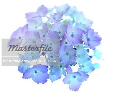 Blaue Hortensie Blumen auf weißem Hintergrund