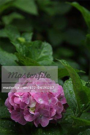 Rosa Hortensie Blumen im Garten