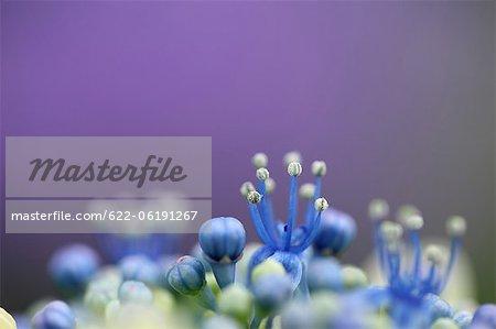Pistil et les bourgeons, les fleurs bleues