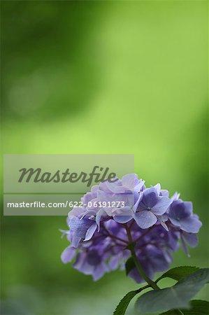 Lila Blüten der Hortensie