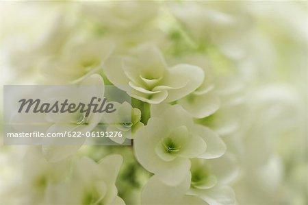 Weiße Hortensie-Cluster