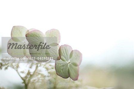 Schließen der weißen Blüten