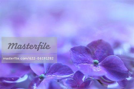 Fleurs d'hortensias pourpres