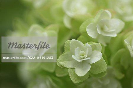 Cluster von weißen Blumen