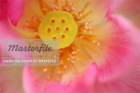 Fleur rose, Close-Up, Image Macro