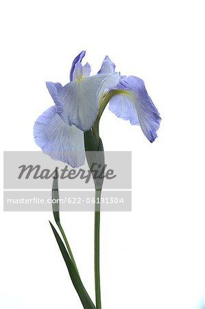 Fleur bleue sur fond blanc