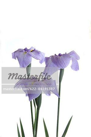 Fleurs violettes sur fond blanc