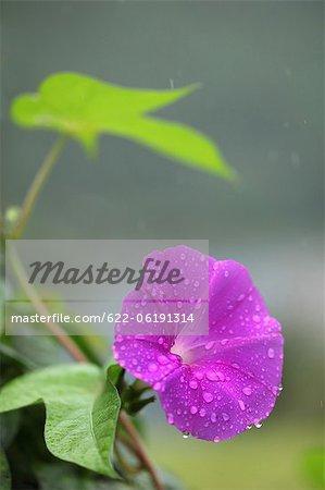 Fleur pourpre sous la pluie