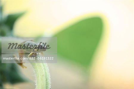 Grenouille arboricole sur tige
