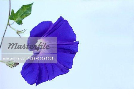Gros plan de fleurs bleu brillant