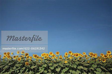 Tournesols sur fond de ciel bleu, copie espace
