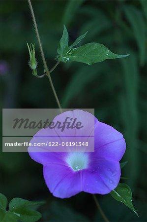 Bouchent la vue de fleur bleue
