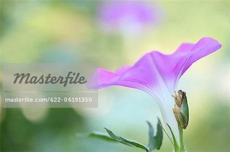 Grenouille sur fleur