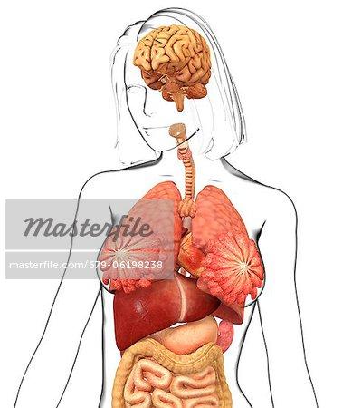Weibliche Anatomie, Computer-Grafiken. - Stockbilder - Masterfile ...