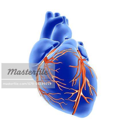 Herz und Koronararterien. 3D Computer-Grafik der externen Anatomie ...
