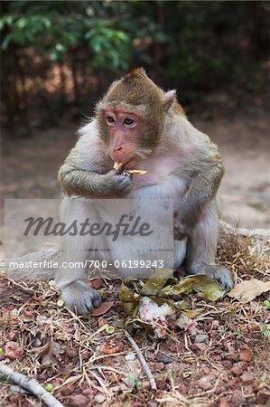 Singe macaque manger des gâteaux apéritif, Siem Reap, Angkor, Cambodge