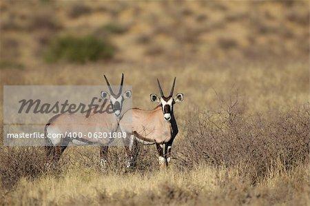 Two young Gemsbok antelopes (Oryx gazella), Kalahari desert, South Africa