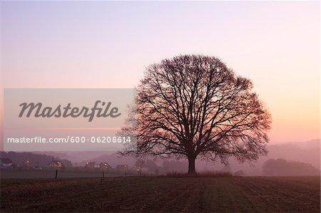 Vieux chêne en pré à l'aube, Rhénanie du Nord-Westphalie, Allemagne
