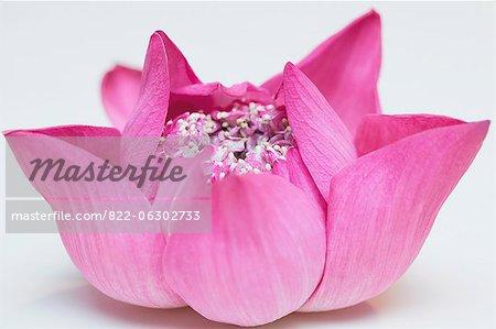 Hell rosa Lotusblume