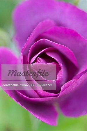Bright violet Rose