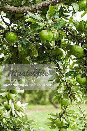 Pommes Granny Smith sur une branche dans un pommier