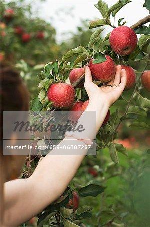 Femme choisir une pomme rouge d'un arbre