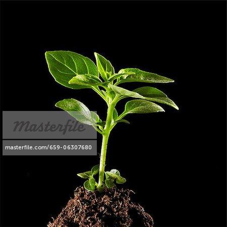 Une plante de basilic poussant sur un tas de terre