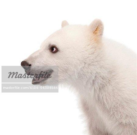 Close-up of a Polar bear cub