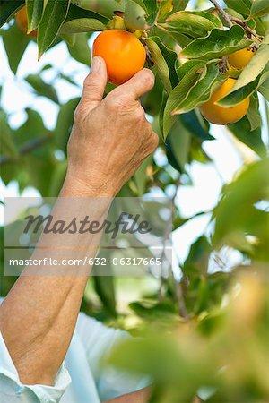Kaki cueillette femme senior d'arbre