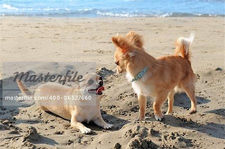 portrait of a cute purebred  chihuahuas on the beach