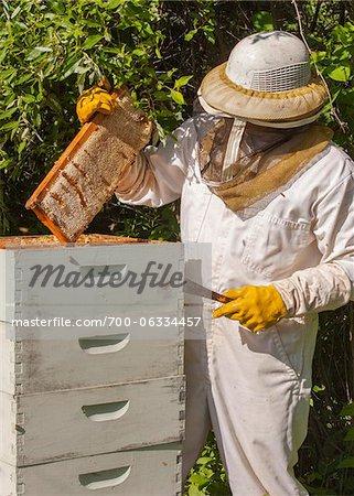 Apiculteur enlevant cadre de ruche