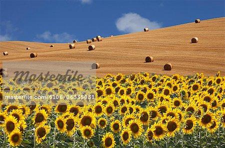 Sonnenblumen und Weizenfeld