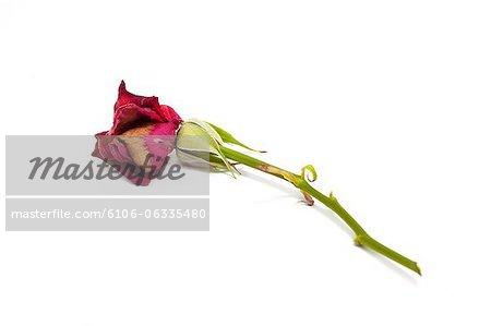 mort rouge rose