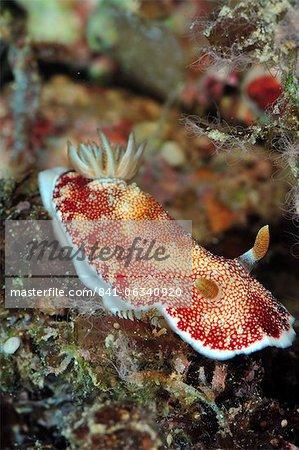 Undescribed chromodoris sp 7 nudibranch, Philippines, Southeast Asia, Asia