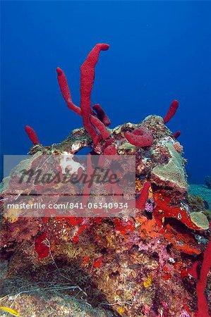Erect rope sponge (Amphimedon compressa), St. Lucia, West Indies, Caribbean, Central America